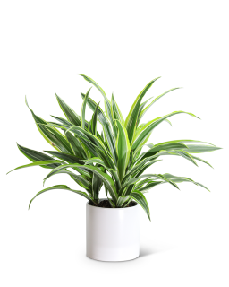 Dracaena Lemon Lime Plant