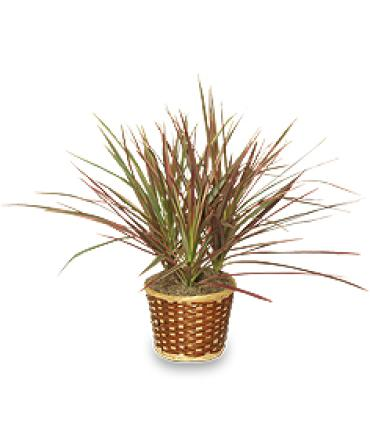 Red Margined Dracaena