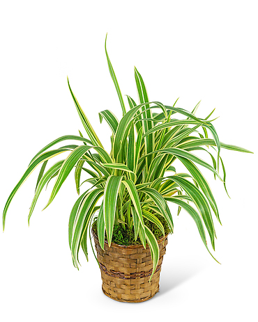 Flax Lily Plant in Basket