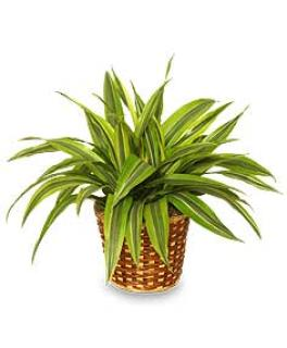 Striped Dracaena