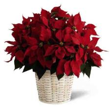 Potted Poinsettia - Large