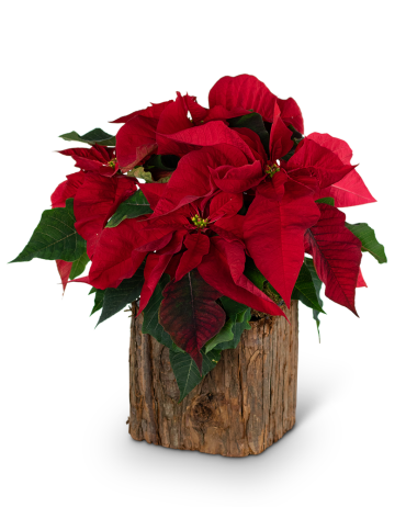 Natural Red Poinsettia Plant